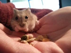 Siberian Dwarf Hamster Food