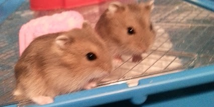 baby russian dwarf hamsters together
