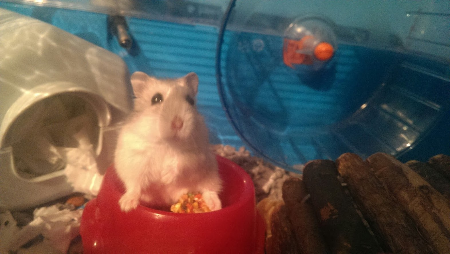 Russian Dwarf Hamster Behaviour And Problems
