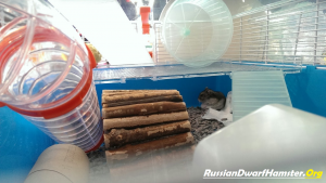Russian dwarf hamsters together behaviour problems