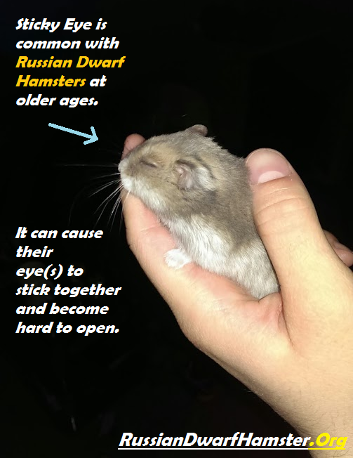 Dwarf hamster Eye Problems
