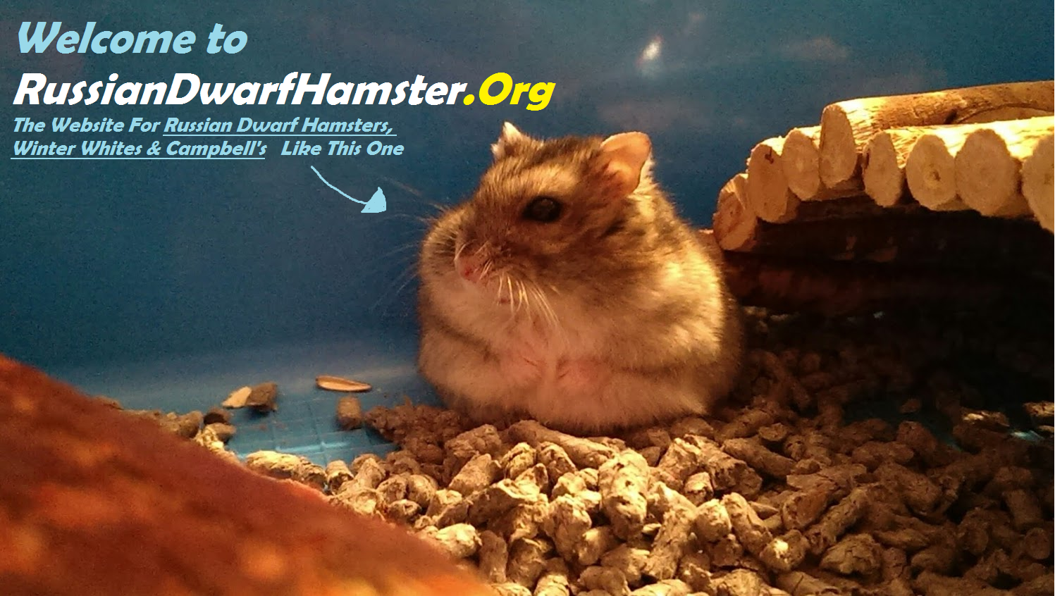 can russian dwarf hamsters live together?