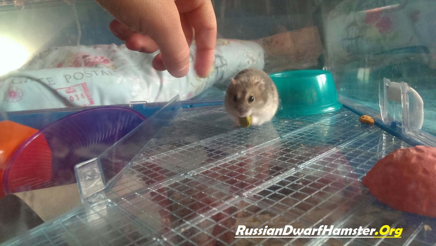 Winter white hamster – 8 interesting facts.