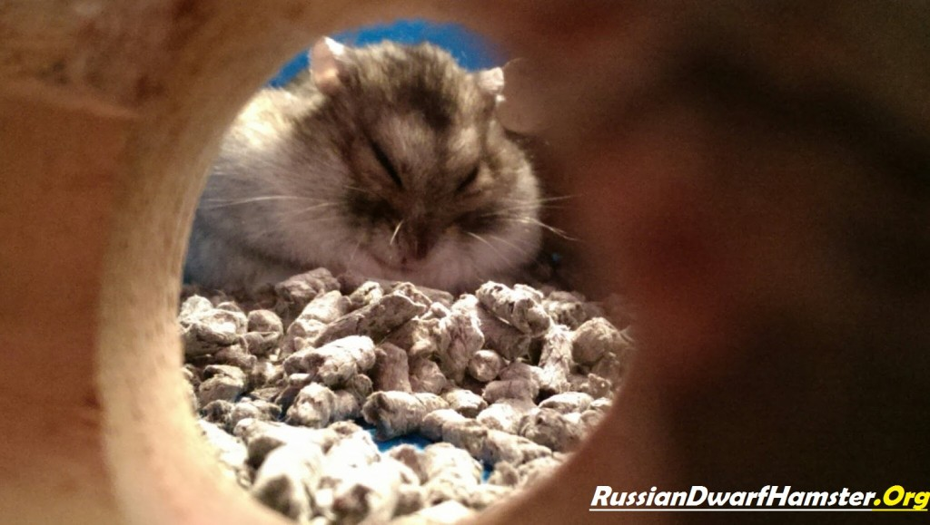 Nocturnal Russian dwarf Hamsters
