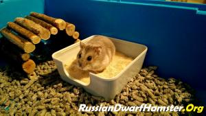 Russian Dwarf Hamster Sand Bath