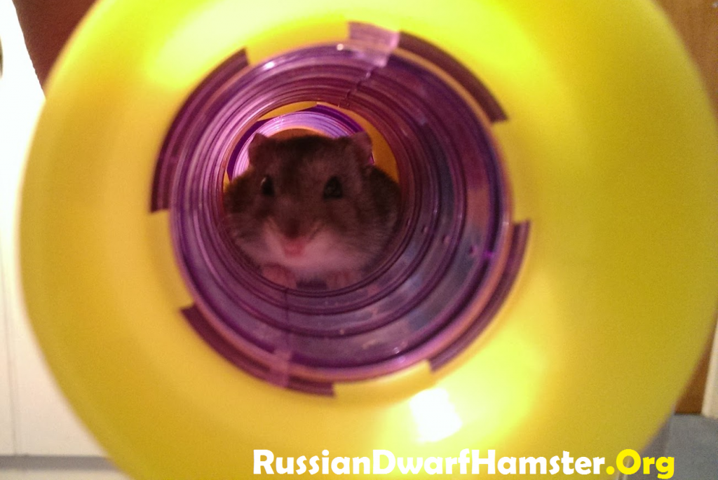 Catching A Russian Dwarf Hamster
