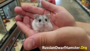 RussianDwarfHamsterPictures