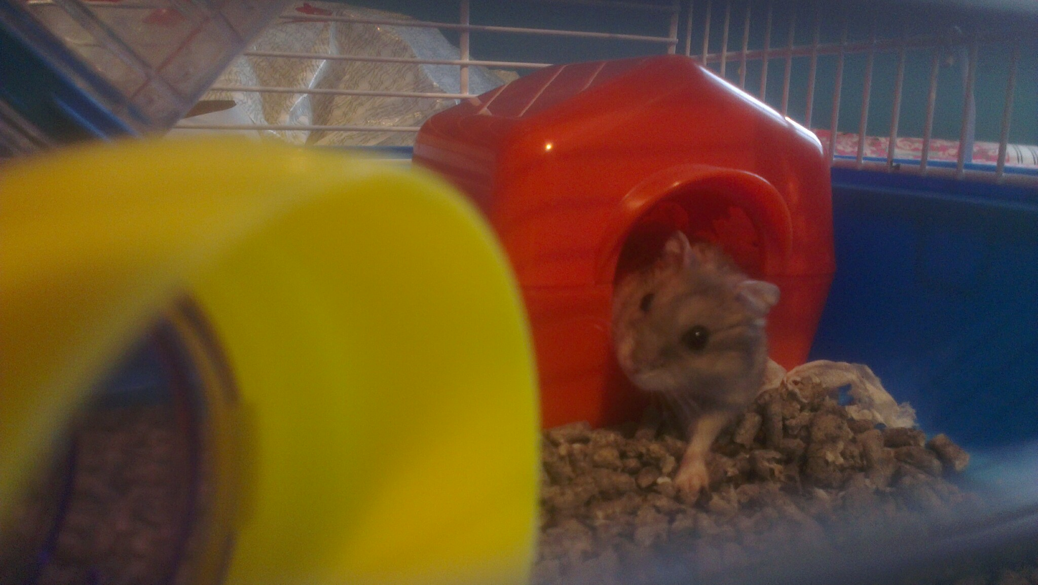Russian Dwarf Hamster Pictures