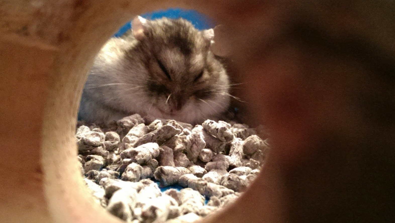 normal russian dwarf hamster behaviour