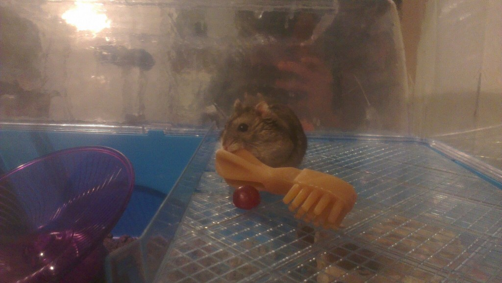 Russian Dwarf Hamster Facts & Most Common Questions   Answered