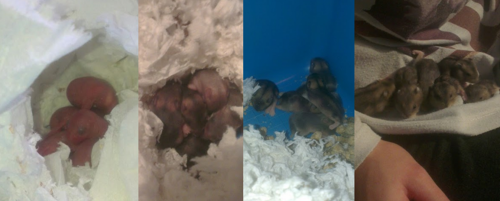 Russian Dwarf Hamster Babies pictures of growing from 3 days old to 6 weeks old