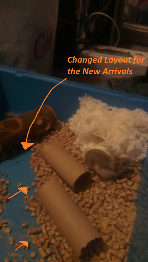 Pregnant Russian Dwarf Hamster Mother Adapting her environment for the new baby hamsters