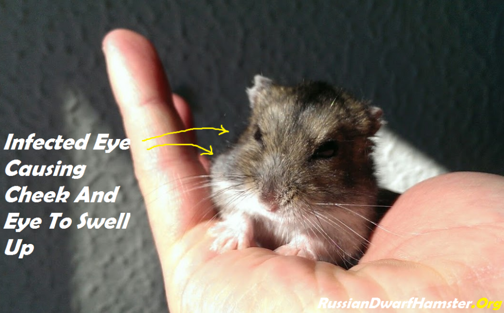Russian Dwarf Hamster Eye Problem (Infection)