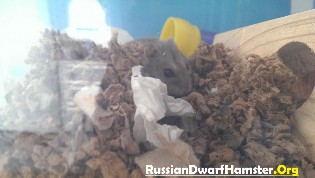 Russian Dwarf Hamster in Carefresh Bedding